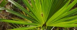 The Numerous Ways In Which Saw Palmetto Can Deliver Effective Male Enhancement