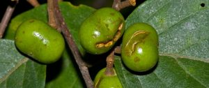Pygeum: The Tree Bark That Has A Profound Positive Impact On Male Sexual Health